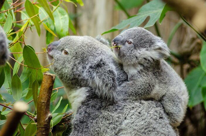 koala, koala festival