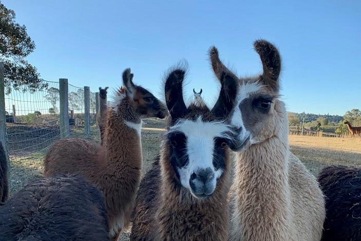 llama fun for kids brisbane