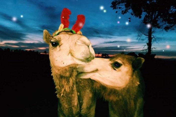 Summerland Camels Christmas Market, camels with reindeer horns, christmas camesl