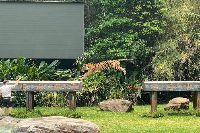 tiger jumping at Tiger Island, Dreamworld