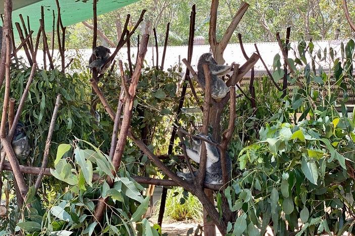 koalas at currumbin wildlife sanctuary