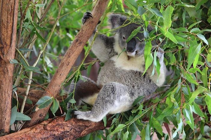 koala at lone pine