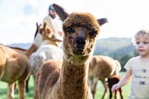 queensland alpaca farm