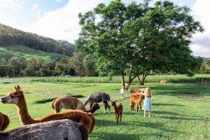 farm of alpacas brisbane