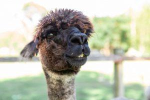 alpaca with buck teeth, mountview alpaca farm