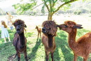 mountview alpaca farm