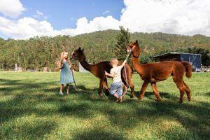 two alpacas with children