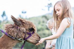 girl feeding alpaca