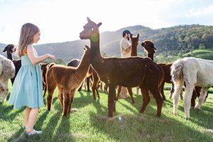 oreillys alpaca farm