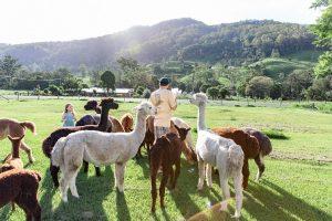 scnic rim alpaca farm