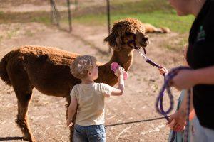 children brushing alpacas