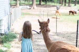 a girl leading an alpaca