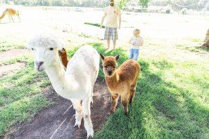 two mountview alpacas
