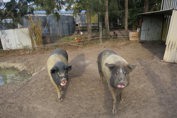 two pigs at trevena glen