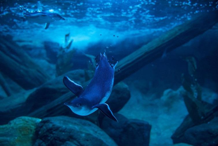 blue penguins at sealife