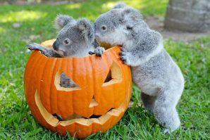 Koalas and jack-o-lantern