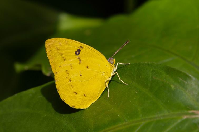 male lemon migrant butterfly