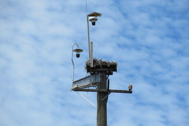Osprey House nest 2
