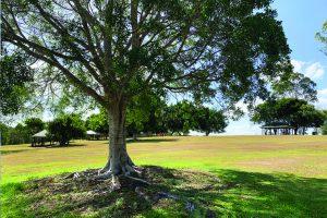 Large shady tree