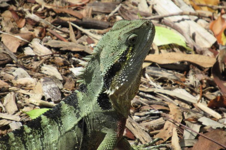 Botanic Gardens Mt Coot-tha Water Dragon