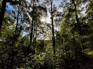 Buderim tramway walk rainforest