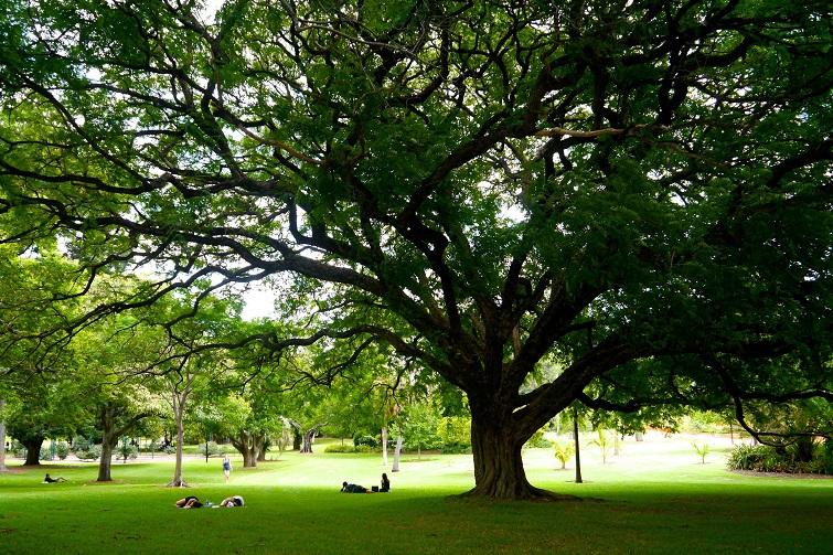 shady tree in brisbane botanic gardens.