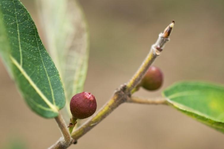 Bush tucker - Ficus opposita Australian native plant flora sandpaper fig fruit