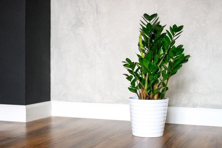 Zamioculcas zamiifolia ZZ Plant in pot on floor indoors