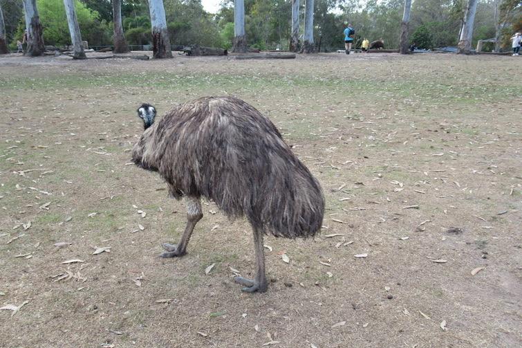 Emu walking on grass.