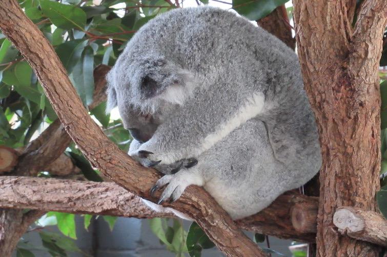 Koala resting in a tree.