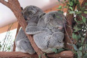 Three koalas cuddling.