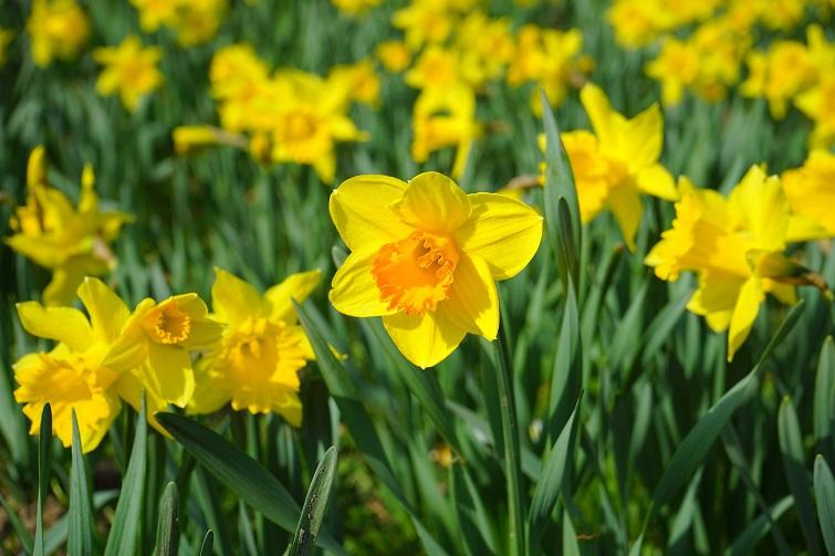Daffodil day cancer council